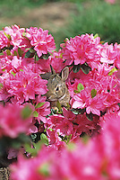 Eastern Cottontail Rabbit, juvenile hiding in a flower garden, Mount Laurel, New Jersey