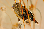 Red-winged Blackbird Female, Bosque del Apache Wildlife Refuge, New Mexico