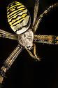 Wasp Spider female {Argiope bruennichi}, Dorset, UK. August. The Wasp Spider is an invasive alien species in the UK, first recorded in Britain in 1922 at Rye.