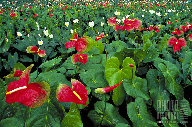 Anthurium farm on the Big island of Hawaii