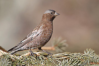 Gray-crowned Rosy-Finch - Leucosticte tephrocotis - Adult female