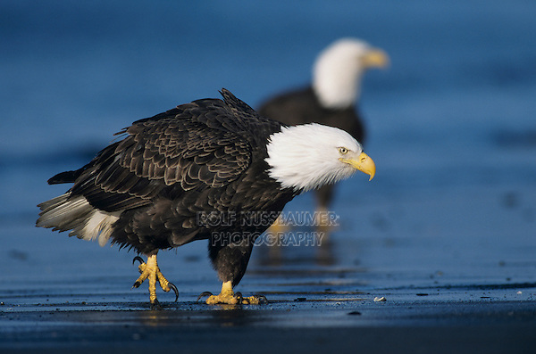 Bald Eagle, Haliaeetus leucocephalus, adult walking on beach, Homer, Alaska, USA