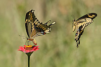 Male pursing the female in this classic swallowtail behavior.