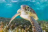 green sea turtle, Chelonia mydas, feeding on seagrass bed, Bird Island, Seychelles, Indian Ocean