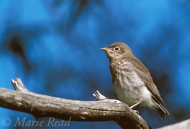 Mountain Bluebird (Sialia currucoides), fledgling, Lee Vining, California, USA<br /> Slide # B136-481