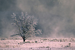 Ice fog & frost on grass & tree, on a cold autumn morning, Hayden Valley, Yellowstone National Park, WYOMING