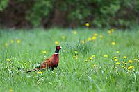 Fasan, Jagdfasan, Jagd-Fasan, Männchen, Hahn, Phasianus colchicus, common pheasant, ring-necked pheasant