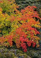 Vine Maple, Acer circinatum, Upper McKenzie River National Recreation Trail, Willamette National Forest, Oregon