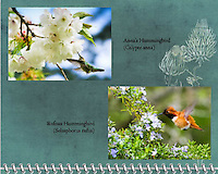 2015 Calendar - Birds of a Feather with photography by Chris Bidleman.<br /> Anna's Hummingbird (Calypte anna) feeding on cherry blossoms in the Spring.