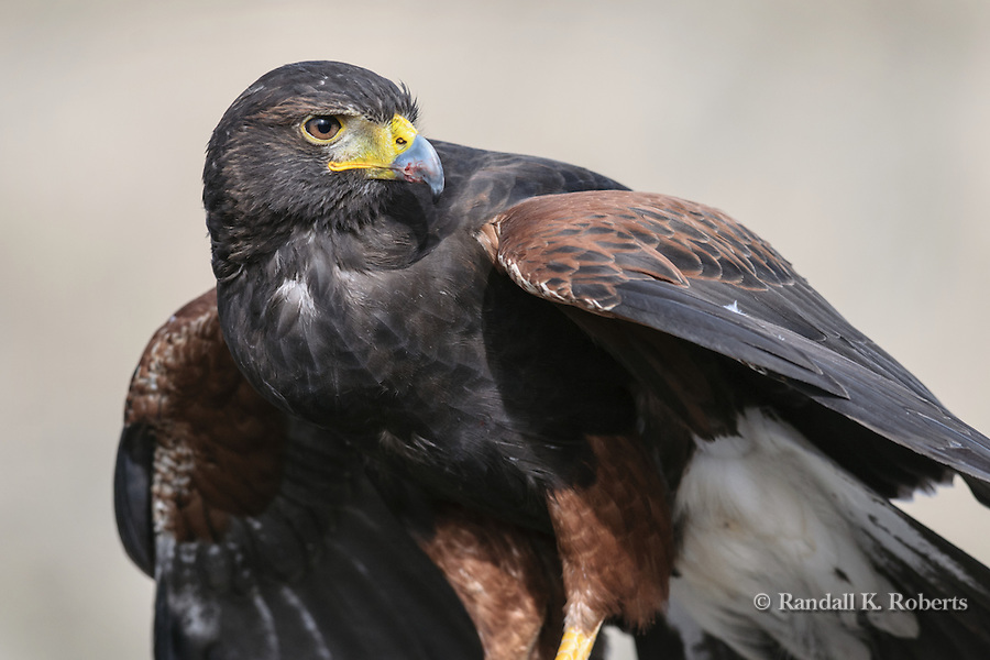 Harris Hawk  (Parabuteo unicinctus) profile.