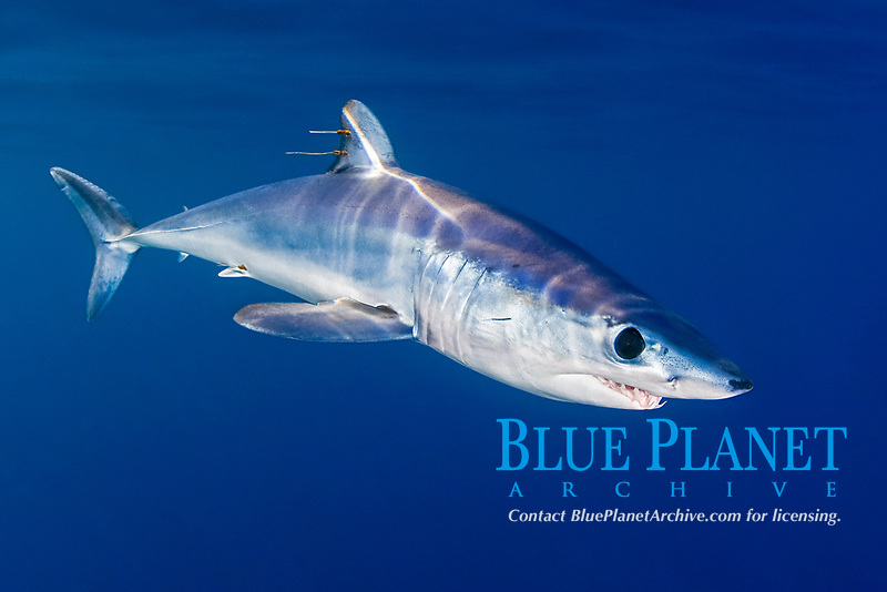shortfin mako shark, Isurus oxyrinchus, with parasitic copepods, very aggressive and the fastest swimmer of all shark species, San Diego, California, USA, Pacific Ocean