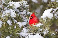 01530-21016 Northern Cardinal (Cardinalis cardinalis) male in Keteleeri Juniper tree (Juniperus chinensis 'Keteleeri') in winter, Marion Co., IL