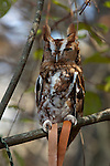 This eastern screech owl at the Pocomoke River State Park in Maryland is under the care of the National Park Service.