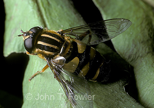 Syrphid fly  Heliophylus obscurus