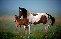 Mare and colt standing on a misty mountain meadow