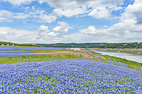 Bluebonnets in the lake bed