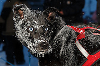 Charlie Bejna dog at the Nome finish chute Friday March 14 during the 2014 Iditarod Sled Dog Race.<br />