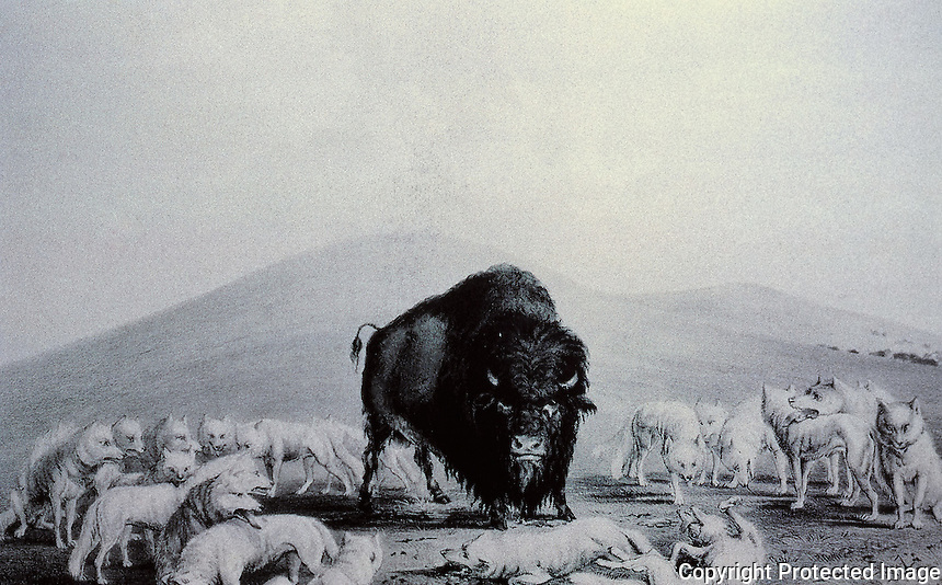 George Catlin, Buffalo and Wolves. Lithograph, 1844.