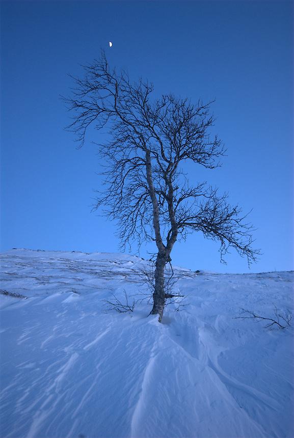 Betula,Winter tree,Norway Landscape, landskap,