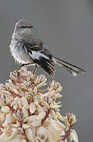 Northern Mockingbird, Mimus polyglottos, adult on blooming Trecul Yucca (Yucca treculeana), Starr County, Rio Grande Valley, Texas, USA