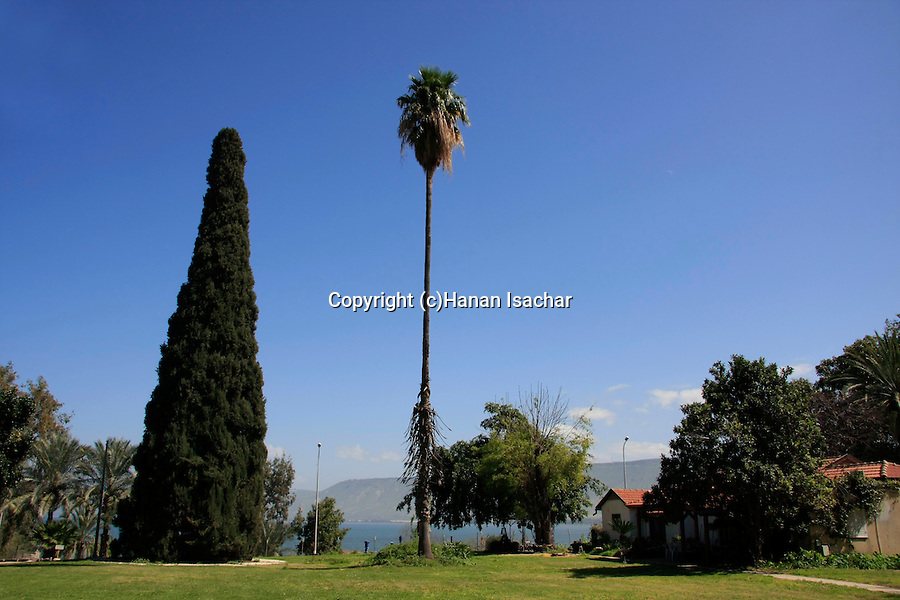 Israel, Sea of Galilee. ?The Tree of the State? in Kibbutz Degania Alef