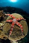 Friant's Sea Star, Nardoa frianti on a coral headin the reef