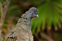 511760041 a wild plain chachalaca ortalis vetula rousts its feathers on a private ranch in the rio grande valley of south texas