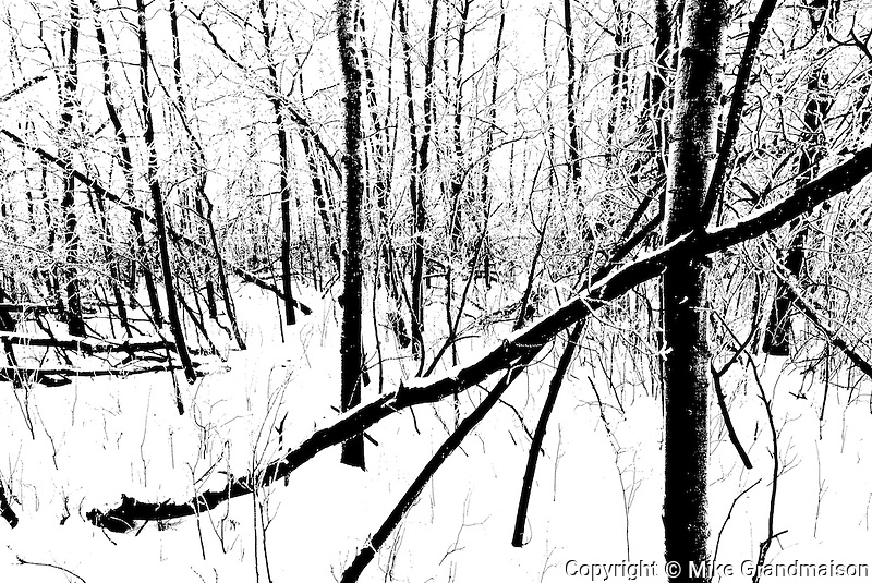 Winter trees in Seine River forest<br /> Winnipeg<br /> Manitoba<br /> Canada