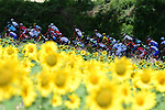 The peloton pass by sunflower fields Stage 16 of the 2018 Tour de France running 218km from Carcassonne to Bagneres-de-Luchon, France. 24th July 2018. <br /> Picture: ASO/Pauline Ballet | Cyclefile<br /> All photos usage must carry mandatory copyright credit (© Cyclefile | ASO/Pauline Ballet)