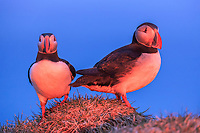 Atlantic puffin, or common puffin, Fratercula arctica, at sunrise, Latrabjarg, Westfjords, or West Fjords, Iceland