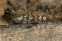 305150001 a wild texas bullet ant genus pachycondyla crawls along an old mesquite log on a ranch in the rio grande valley of south texas