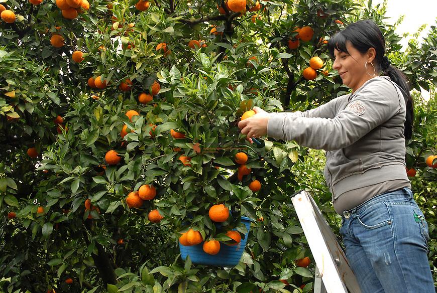 Farmer picking oranges for the market