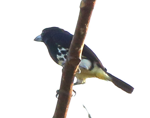Female spot-crowned barbet