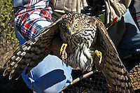 A Cooper's Hawk held to display its talons, wings, beak and glaring eyes.