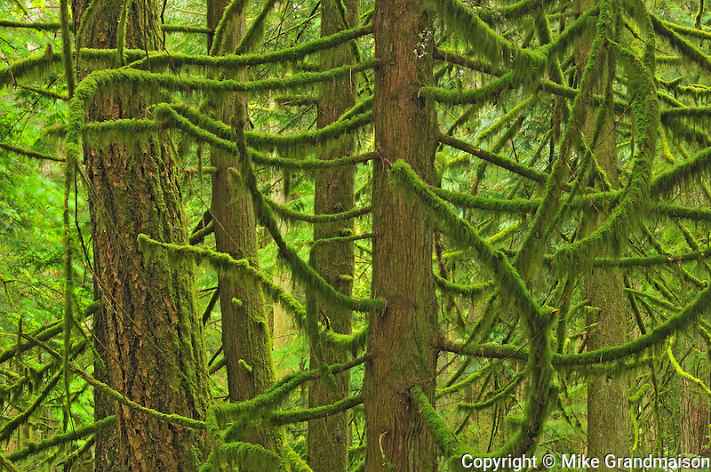 Old growth in coastal temperate rain forest <br /> Cathedral Grove (McMillan Provincial Park)<br /> British Columbia<br /> Canada