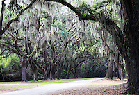 Stock photo: Mysterious looking Spanish moss hang from oak trees in wormsloe plantation in Savannah Georgia USA.