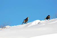 Two chamois buck in the snow in front of a blue sky
