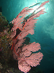 Big Drop-Off, Palau -- Large pink sea fan on a sea wall.