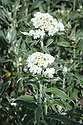Anaphalis triplinervis, early August. Commonly known as Triple-nerved pearly everlasting, an herbaceous perennial with white-woolly stems bearing narrowly elliptic, three or five-veined, greyish-green leaves, white-felted beneath. Small, white everlasting flowers in loose terminal clusters.