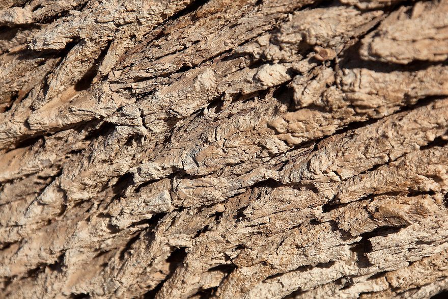 Tamarisk tree bark (Tamarix articulata), close-up.