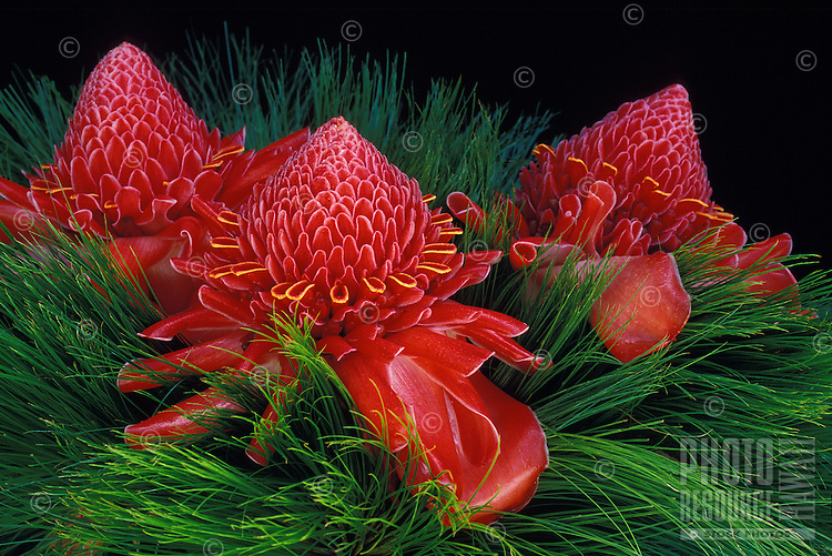 Red torch ginger (nicolalia elatior) in papyrus