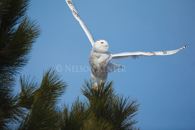 A snowy owl flies from the top of a ponderosa pine tree in montana during a winter irruption