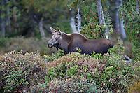 Moose: Stock