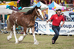 CR0002852 Kinross Show. Scott Greenhill from Leuchares with Champion Clydesdale, Fordalhill Hannah. 11 Aug 2018 © Copyright photograph by Tina Norris. Contact Tina on 07775 593 830 info@tinanorris.co.uk All print sales via Tina Norris. www.tinanorris.co.uk http://tinanorris.photoshelter.com