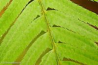 Details of a sword fern frond.