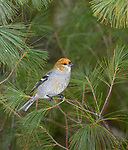 Pine grosbeak in northern Wisconsin.