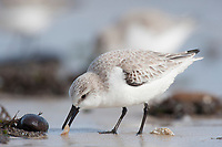 Adult Sanderling (Calidris alba) in basic (winter) pluamge feeding on an isopd. Ocean County, New Jersey. January.