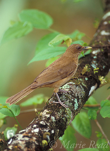 Clay-colored Robin (Turdus grayi),  Gamboa, Panama.<br /> Slide # B136-3304