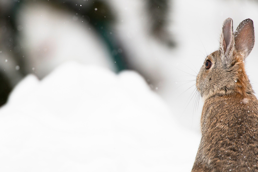 A Mountain Cottontail weathers a snowstorm in a field outside Bozeman, Montana.
