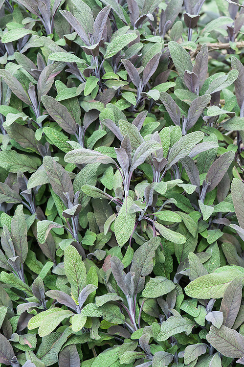 Salvia officinalis 'Purpurascens', late May. Purple sage, an aromatic, semi-evergreen dwarf shrub with purple young foliage and stems, becoming grey-green, and purple-blue flowers.